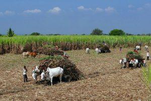 Il lavoro nei campi di canna da zucchero